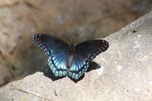 Red-Spotted Purple by CASPER1830