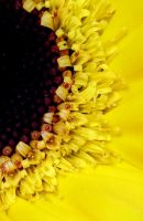 Yellow Flower_2 by Mixdown13