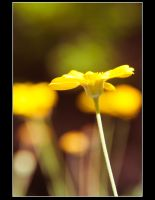 pretty in yellow by tspargo-photography