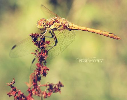 Dragonfly003 by ischarm