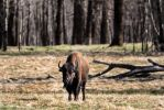 Plains Bison - 4924 by creative1978