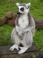 Ring Tailed Lemur 2 by ShimmiDragon