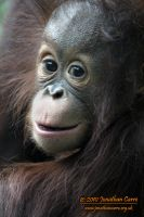 110810 Infant Orangutan 1 by InsaneGelfling