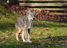 Yay a Coyote by tuftedpuffin