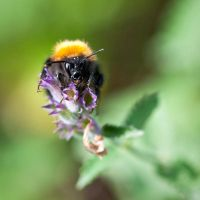 Humble Bee by henkklund