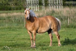Haflinger Stock 7 by Colourize-Stock