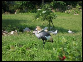 Crested Crane by Chompie