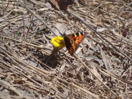 1st spring butterfly by Alice-Coal
