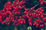 Berry Bush by TimFreelsPhotography