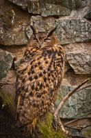Eurasian Eagle-Owl by amrodel