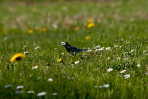 White Wagtail by DeviantTeddine
