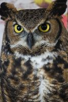 Great Horned Owl by ampphotographyinc