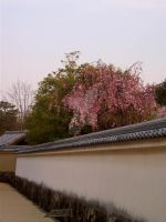 Sakura Wall by Lianthanis