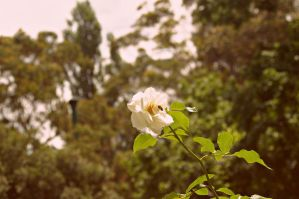 Bee on White rose by SarahDank