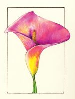 Calla Lily by seeing-the-dark