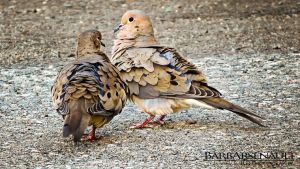 Doves in Love by TearsofEndearment