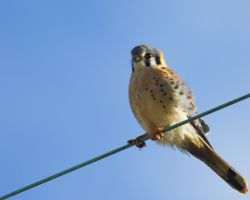 Skagit Kestrel On A Wire by swashbuckler