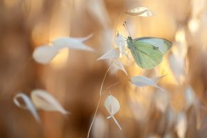 Pieris brasicae by buleria