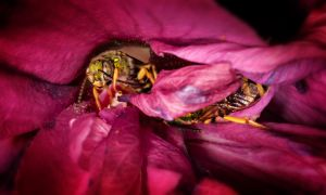 Bee Playing In Flower II by drhine
