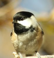 chickadee close up by freddiecruger