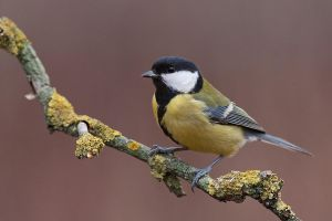 Parus major by JMrocek