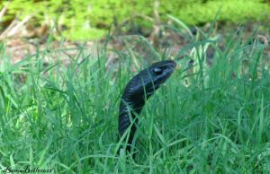 A Snake In The Grass by BamaBelle2012