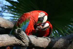 Scarlet Macaws by dlc-nature-stock