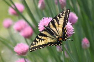 eastern tiger swallowtail by bydandphotography