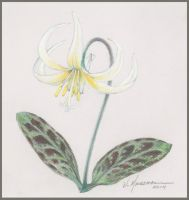 Fawn Lily by Caddisman