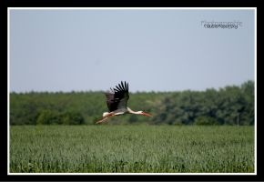 flying Stork by declaudi