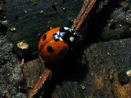 Coccinella septempunctata by Jack-In-The-Green