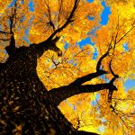 Sycamore Autumn by bad95killer