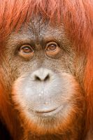 Orangutan 38 by Art-Photo