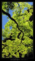 Japanese Maple by Crooty
