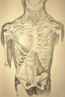 Torso Anatomy Drawing by Ikariaa