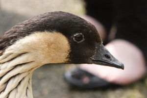 Close-up goose by NickiStock