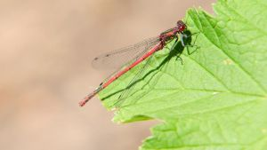 Large Red Damselfly 1600x900 7 by aradilon
