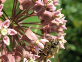 Honey Bee 2 by Critterinthedryer