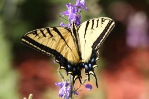 Western Tiger Swallowtail by Shadow848327