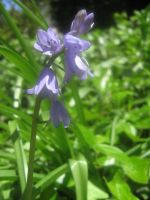 blue bell 01 by CotyStock