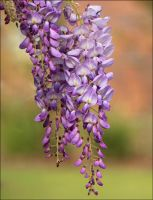 Wisteria sinensis by Firey-Sunset