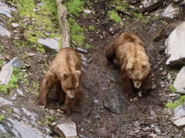 Kodiak Grizzly Bears (Stock?) by iamRinaBear