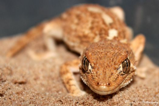 Falco the Helmeted gecko by AngelsSunset