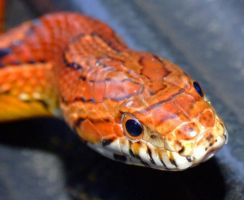 Corn Snake Macro by pitbulllady