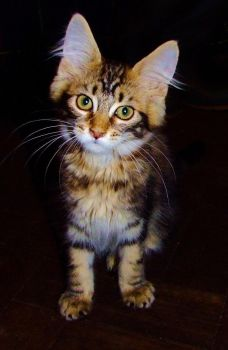 Merlin - Maine Coon Kitten by the-other1