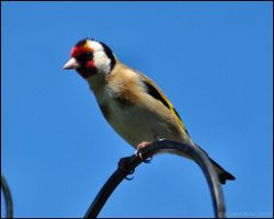 Inquisitive Goldfinch by Somebody-Somewhere