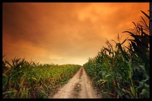 Field of corn by mjagiellicz