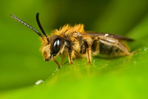 Miner Bee on Ivy by Alliec