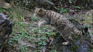 European Wildcat by Parides