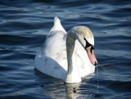 The Swan by foto-ragazza14